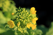 Rohlecithin aus Soja-, Sonnenblumen- oder Rapssaaten ist ein hochwertiges und vielseitiges Produkt. (Foto: Fismer Lecithin)