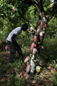 Kakaoanbau (Foto: Forum Nachhaltiger Kakao)