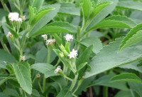 Stevia plant.