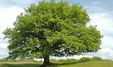 Baum Eiche