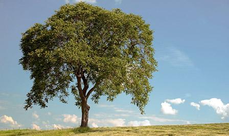 nussbaum massivholz informationen zu holzm beln aus nussbaum. Black Bedroom Furniture Sets. Home Design Ideas