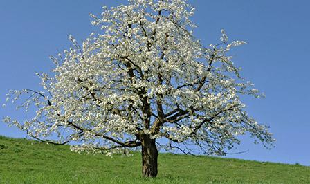 Kirschbaum Baum