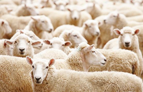 920 590 Schafe