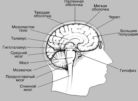 Что входит в МРТ мозга: структуры головного мозга
