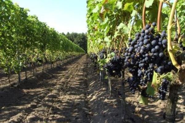 Wijngaard wesselink 3
