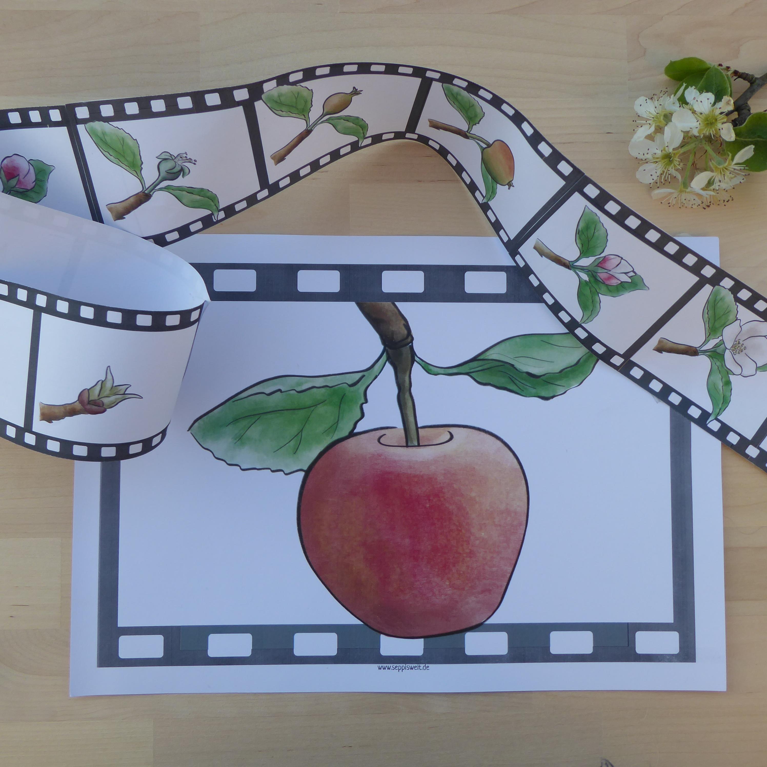 Der Apfelbaum Von Der Knospe Zur Blute Und Zum Apfel Unterrichtsmaterial In Den Fachern Biologie Sachunterricht