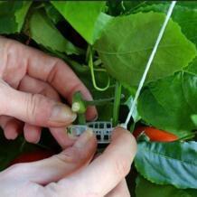 50 шт. томатный держатель аппликатор овощная дыня завод пряжка зажим для растений пластиковая стяжка папка гибкость No name 33044351216