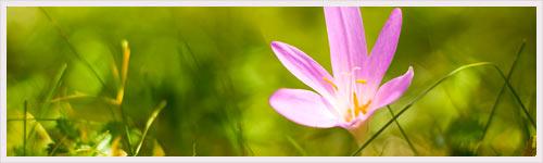 Une fleur source d'un nouveau médicament anticancéreux