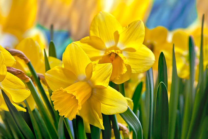La jonquille, fleur de l'espoir dans la lutte contre le cancer