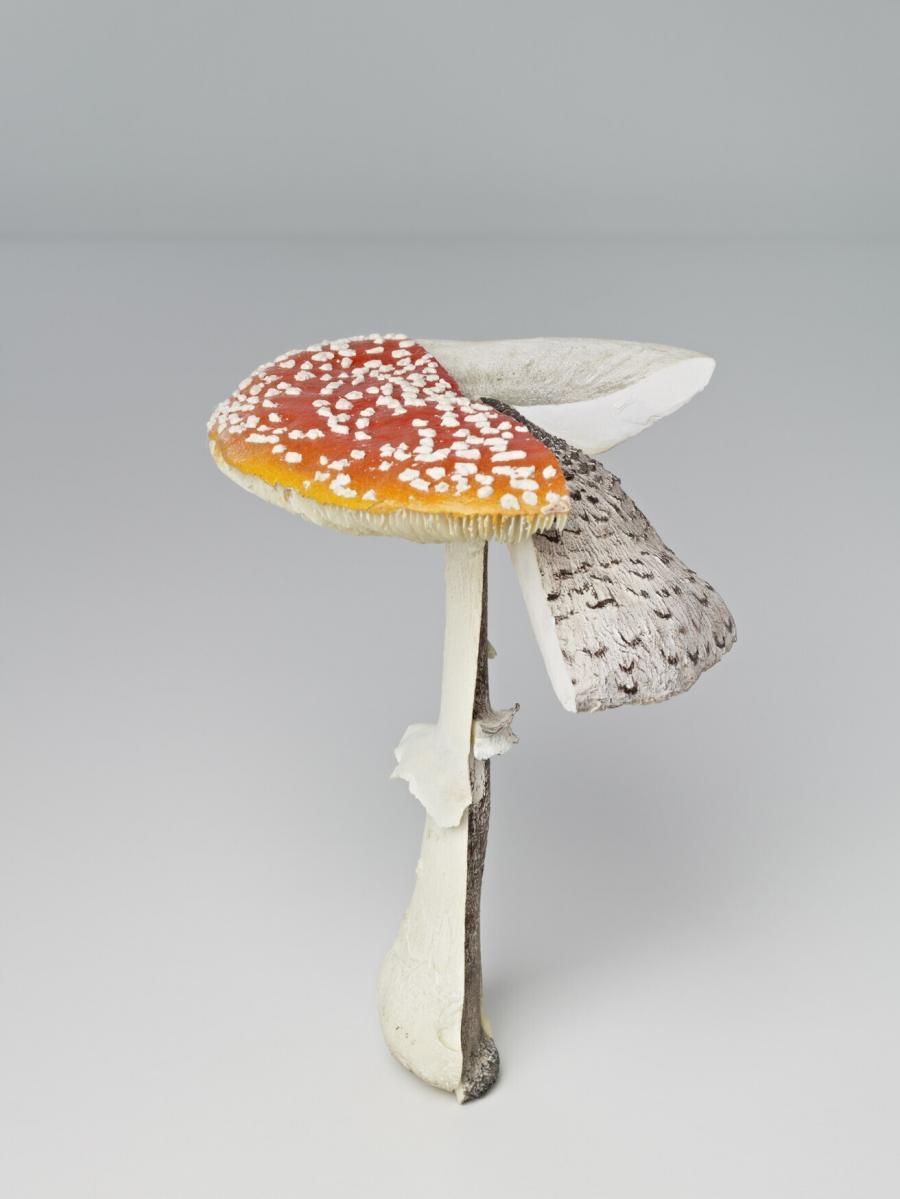 Fliegenpilz/Parasol/Ackerschirmling