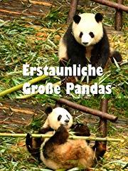 Erstaunliche Große Pandas Stream
