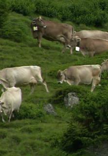 Fitte Kühe, gute Milch - Alpsömmerung stream