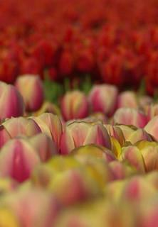 Tulpen-Weltmacht Holland stream