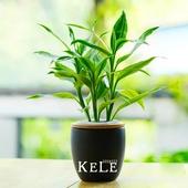 بذور نبات بامبو الداخلية