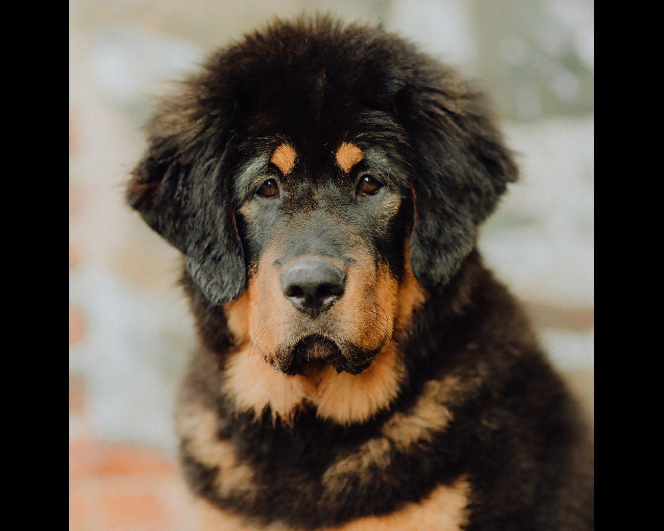 Chiots Dogue Du Tibet A Tubize