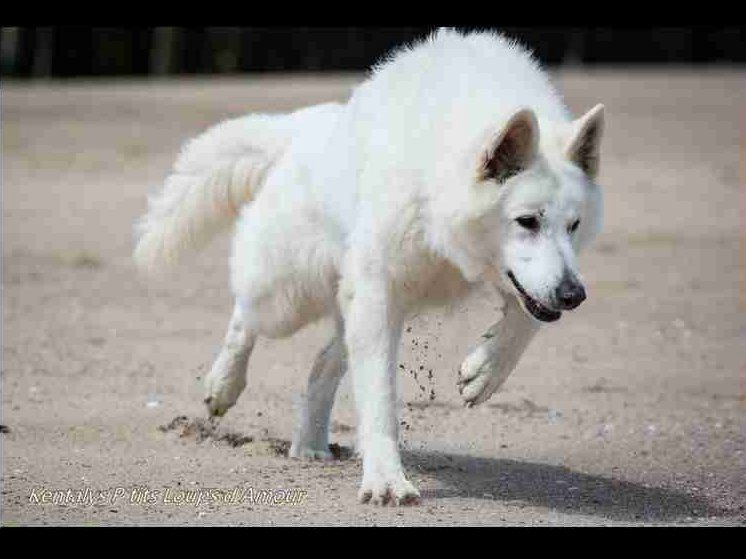 Chiots Berger Blanc Suisse A Vitrival