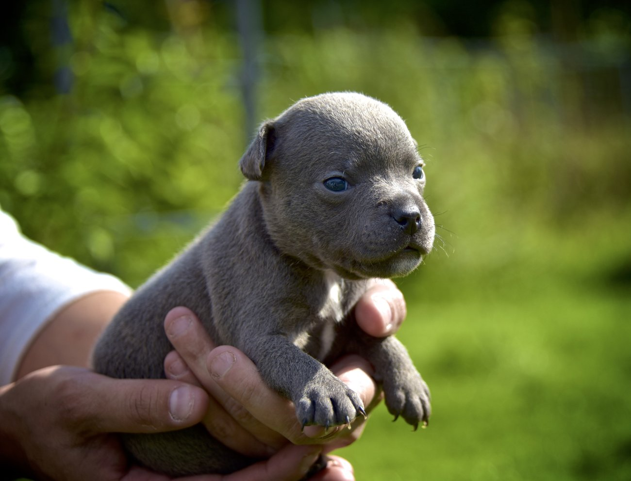 Chiots Staffordshire Bull Terrier A Helecine