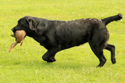 Labrador Retriever : description du Labrador | Tipaw
