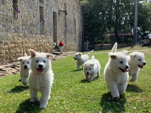 Chiots Berger Blanc Suisse A Mevergnies