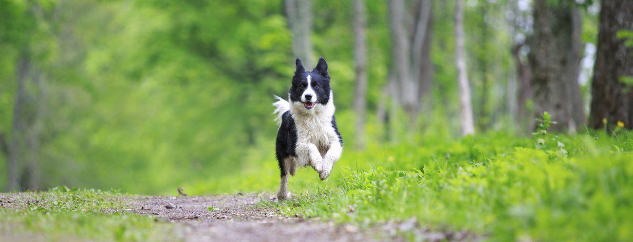 Race de chien - descriptions complètes