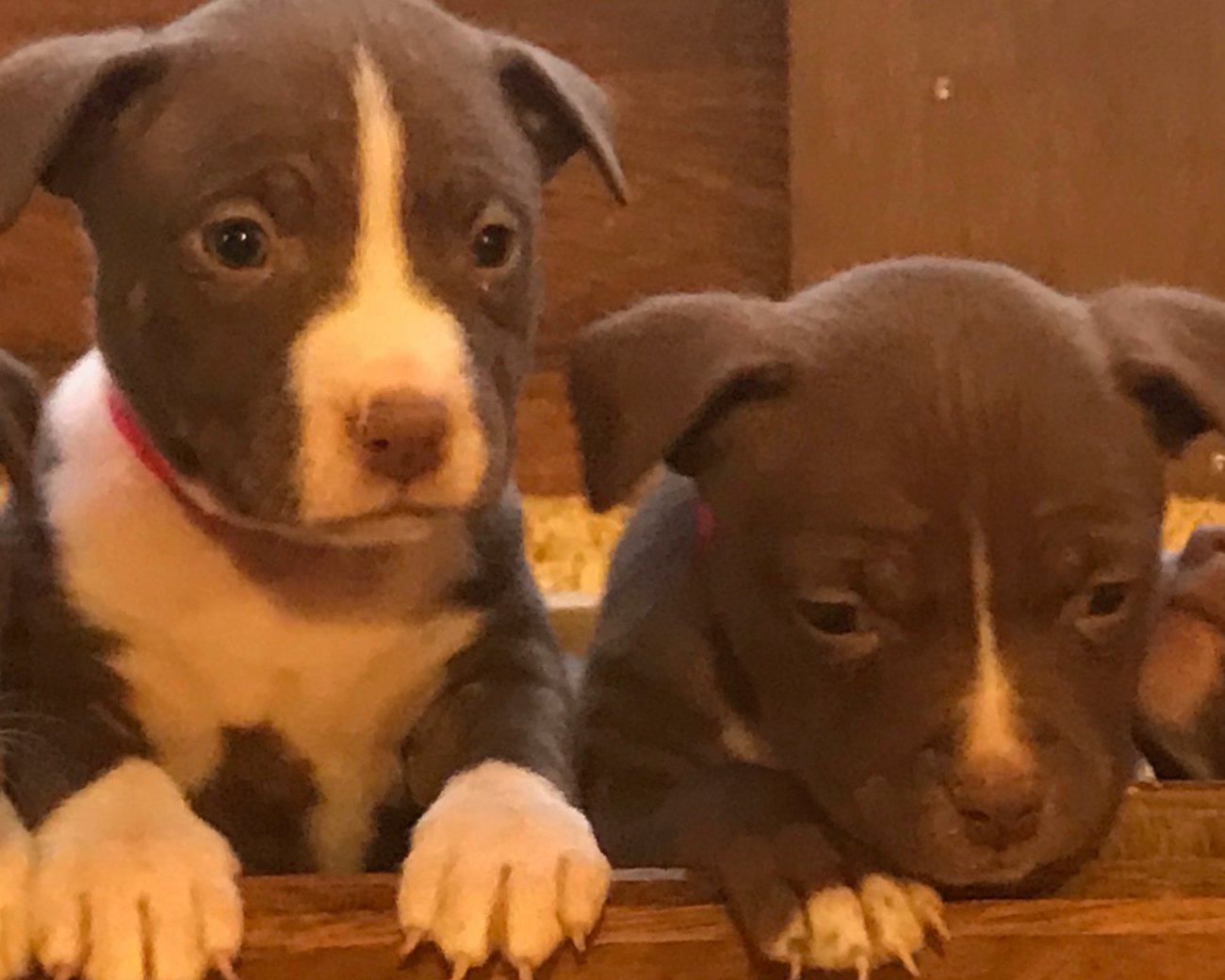 Chiots American Pit Bull Terrier A Thulin