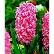 фото Гиацинт Pink Pearl, 15-16 см (130-003)