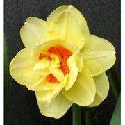 фото Нарцисс махровый Tahiti, 12-14 см (130-008)