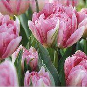 фото Тюльпан махровый Peach Blossom, 11-12 см (130-022)