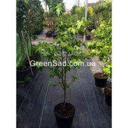 фото Амбровое дерево (Ликвидамбар), 130 см (50-1081)