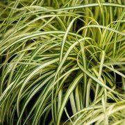 фото Осока Эверголд (Evergold), 10-30 см (130-101)