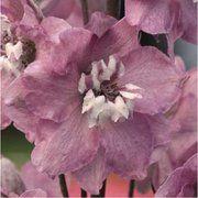 фото Benary Дельфиниум высокий Магический фонтан F1 flowers (Германия) (Магический фонтан F1 дельфиниум чери с б