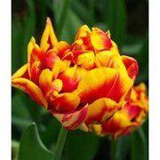 фото Тюльпан махровый Cilesta, 11-12 см (130-020)