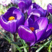 фото Крокус крупноцветковый Flower Record