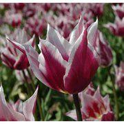 фото Тюльпан лилиевидный Claudia