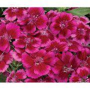 фото Syngenta Гвоздика турецкая Барбарини F1 (Dianthus barbatus Barbarini F1) Flowers (Нидерланды) (Барбарини F1 Г