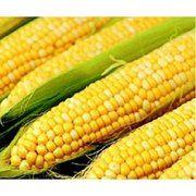 фото Dorsing Seeds Кукуруза Саммит F1 биколор сахарная (США) (Саммит F1 Кукуруза сахарная DS, 1 кг)
