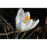 фото Крокус крупноцветковый Jeanne d'Ark