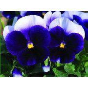фото Syngenta Виола виттрока Карма F1 (Viola wittrockiana Karma F1) Flowers (Нидерланды) (Карма F1 Виола беаконсфи