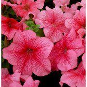 фото Hem Genetics Семена цветов Петунии Лимбо F1 1000 шт.драже красный с прожилками (2739)
