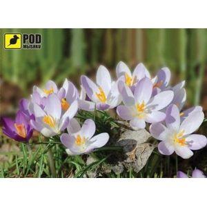 фото PODMЫSHKU Весна-Крокусы