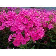фото Флокс Пинк (Pink), контейнер 0,5 л (130-132)