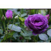 фото Dekoplant Роза штамбовая Минерва (Minerva), 50-60 см