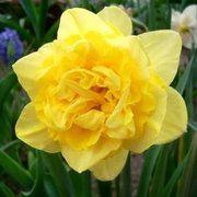 фото Нарцисс махровый Dick Wilden, 12-14 см (130-010)