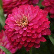 фото Pan American Цинния (Майоры) Сахара F1 элегантная низкорослая flowers (США) (Сахара F1 Цинния элегантная страубер