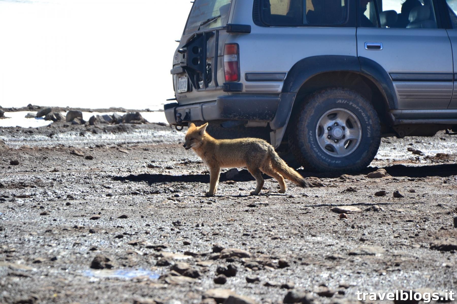 Volpe in dogana in Bolivia