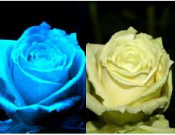 Краска флуоресцентная AcmeLight для цветов белая
