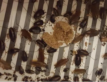 Ловушка для тараканов, прусаков и муравьев повышенной клейкости Killing Bait - изображение 2 - интернет-магазин tricolor.com.ua