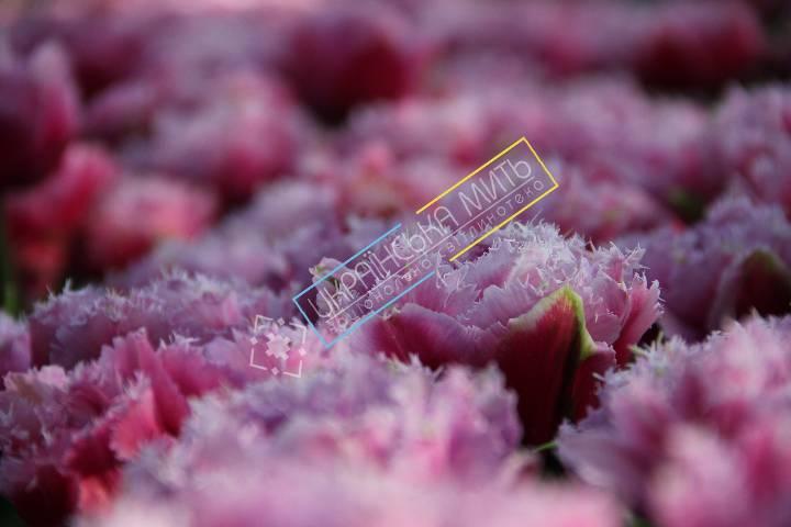 http://uamoment.com/gallery/Tulips-43 photo