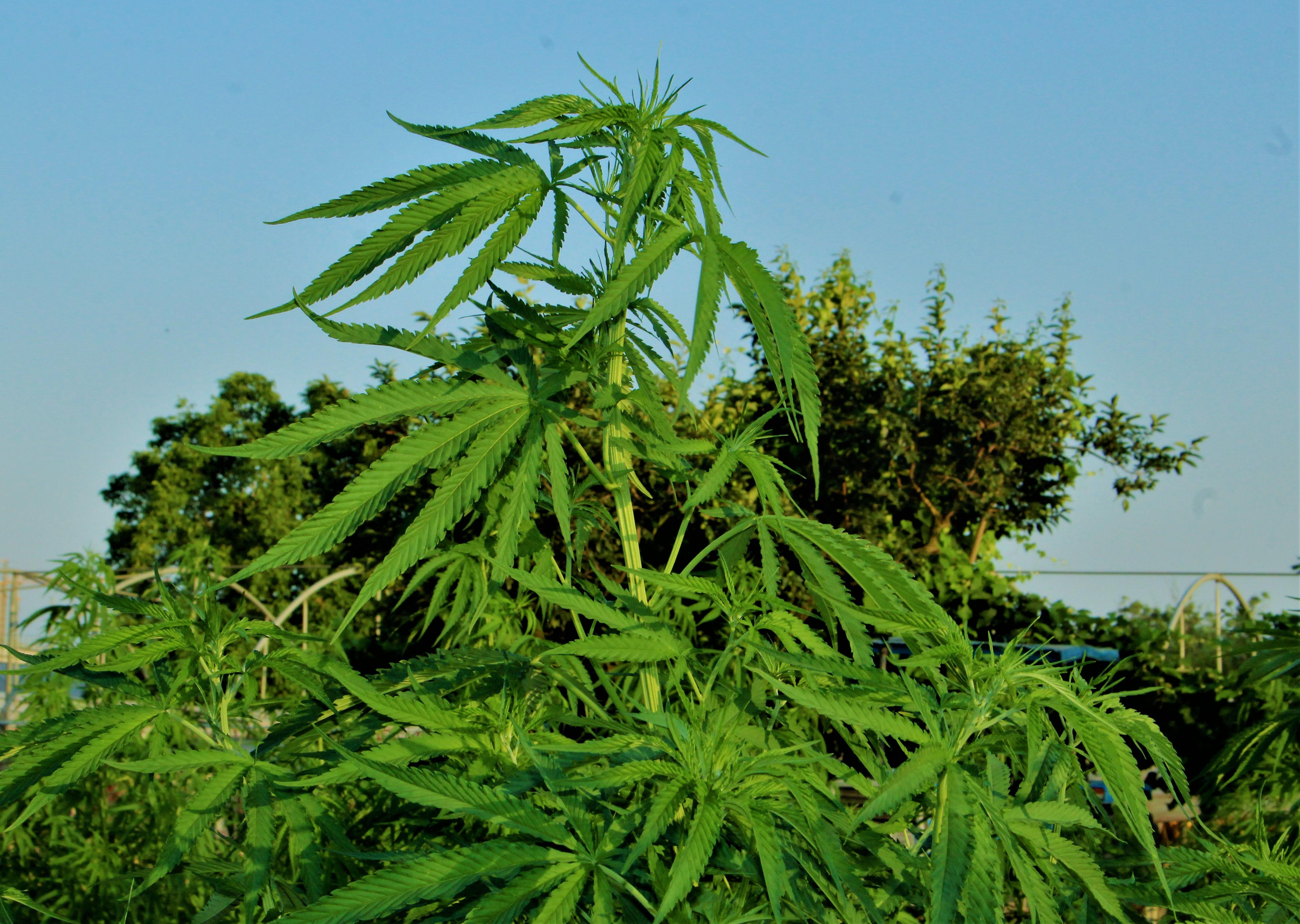 AZIENDA AGRICOLA ROYAL WEED FARM