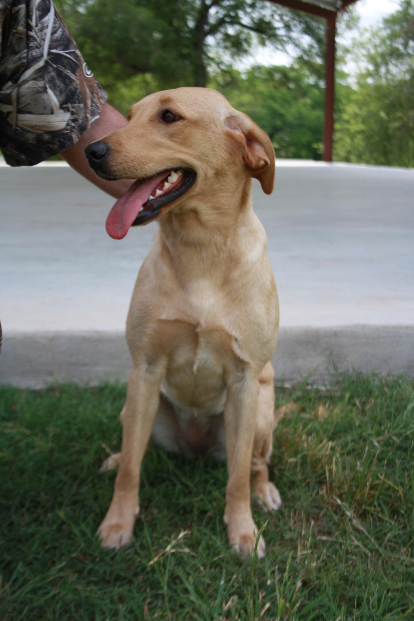 Waterstone Labradors - Boerne, TX 78006 - (210)305-1293 | ShowMeLocal.com